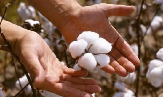 為何棉花全球貿易爭端不斷?