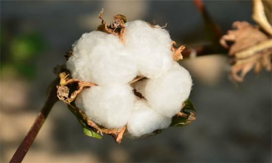新疆棉花市场低迷中孕育新生机